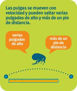 Las pulgas se mueven con velocidad y pueden saltar varias pulgadas de alto y más de un pie de largo.