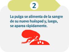 La pulga se alimenta de la sangre de su nuevo huésped y luego se reproduce rápidamente.