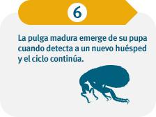 La pulga madura emerge de su pupa cuando siente a un nuevo huésped y el ciclo continúa.