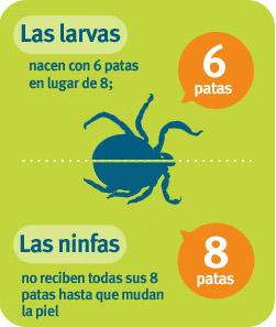 Larvas nacen con 6patas en vez de 8; Ninfas no desarrollan sus 8patas hasta que mudan de piel