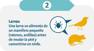 Una larva se alimenta de mamíferos pequeños (ratones, ardillas listadas) antes de mudar de piel y convertirse en ninfa.