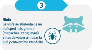 La ninfa se alimenta de huéspedes más grandes (mapaches, zarigüeyas) antes de mudar de piel y convertirse en una garrapata adulta.