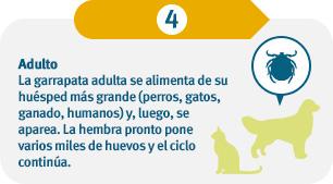 La garrapata adulta se alimenta de huéspedes aún más grandes (perros, gatos, ganado, seres humanos) y luego se reproduce. La hembra pone varios miles de huevos y el ciclo continúa.
